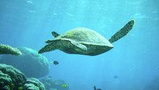 Черепаха на Большом Барьерном рифе