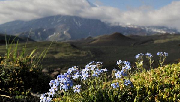 Горные цветы на Камчатке. Архивное фото
