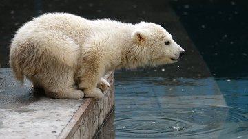 Белый медвеженок. Архивное фото