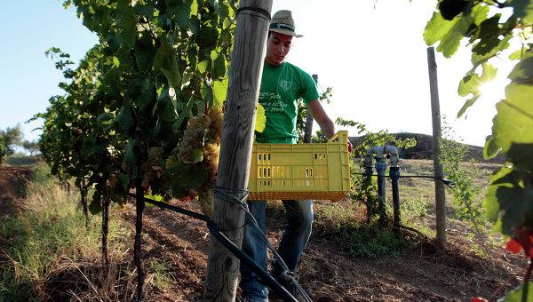 Итальянский фермер во время сбора винограда. Архивное фото