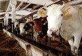 Коровы на одной из ферм Латвии. Архивное фото