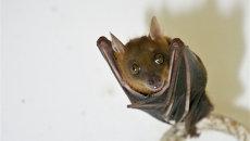 Малайский коротконосый крылан