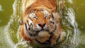 Амурский тигр в зоопарке в Питтсбурге