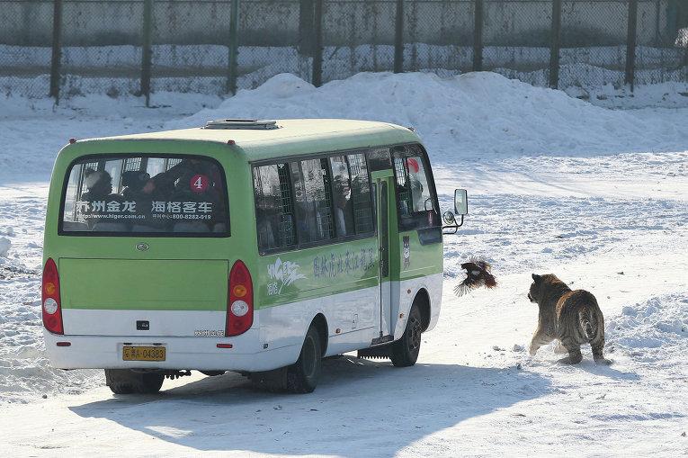 Амурский тигр в парке в городе Харбине, Китай