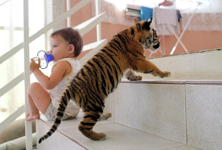 Амурский тигренок в квартире в Сочи