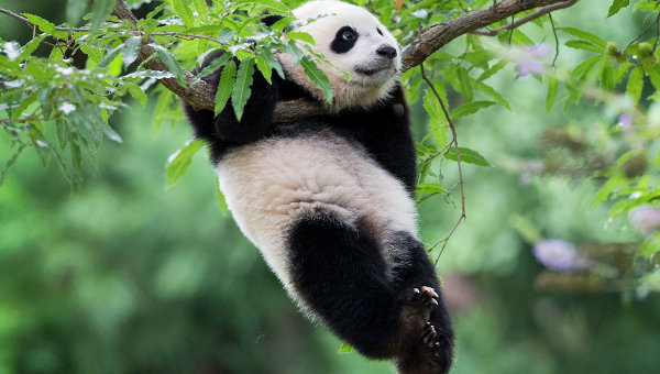 Гигантская панда. Архивное фото