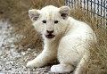 """Белый львенок в сафари-парке """"Тайган"""" в Крыму"""