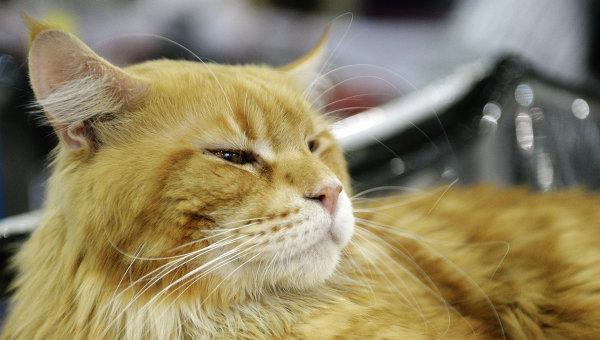 Рыжий кот. Архивное фото