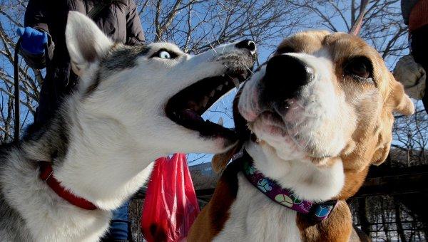 Собаки пород сибирский хаски и бигль во время предновогодних соревнований. Архивное фото