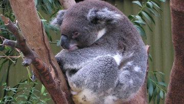Коала, или сумчатый медведь в Австралии, архивное фото.