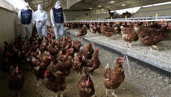 Ветеринары на птичей ферме в Италии. Архивное фото