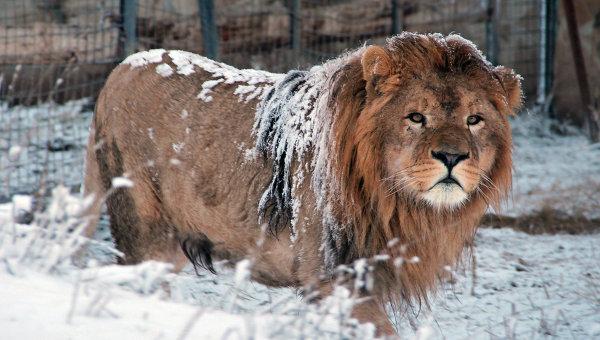 Львы в парке Тайган в Крыму