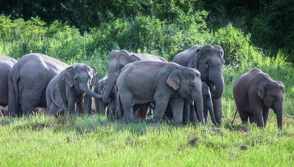 Слоны в Таиланде. Архивное фото