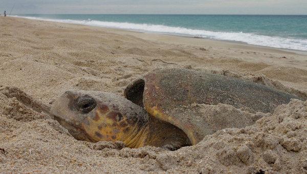 Головастая морская черепаха откладывает яйца на одном из пляжей Флориды