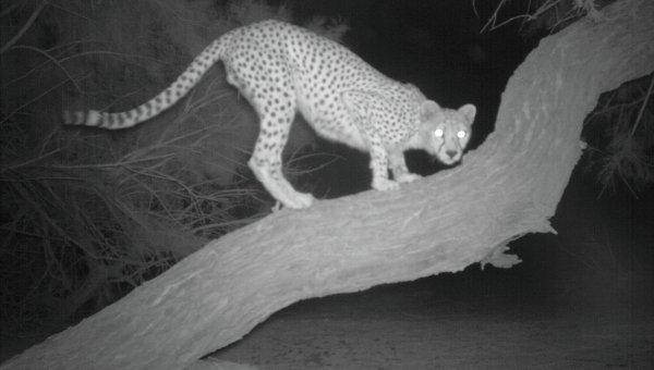 Фотография чрезвычайно редкого сахарского гепарда, полученная учеными в Алжире