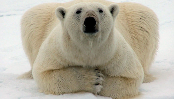 Белый медведь лежит на льдине. Архивное фото