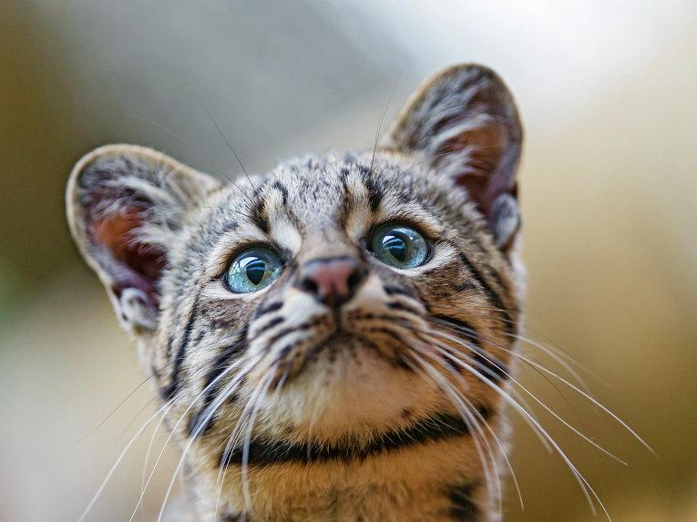 Кошка породы жоффруа