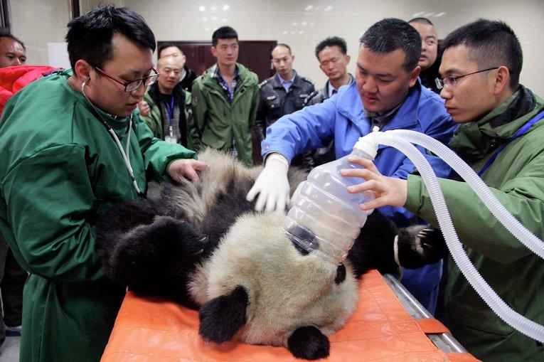 Панда на лечении в ветеринарной больнице