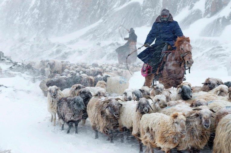 Пастухи ведут стадо овец