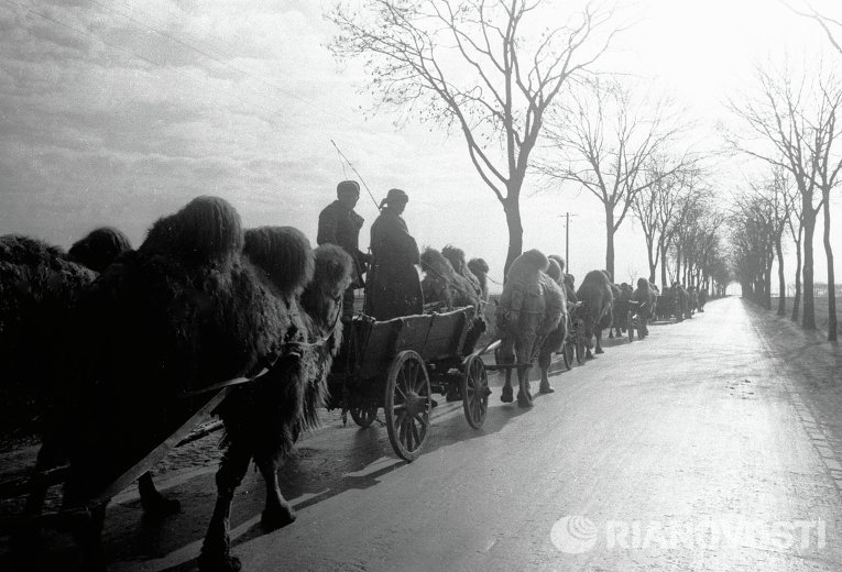 Колонна с верблюдами на подступах к Берлину