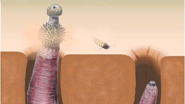 Рисунок с изображением червя-пениса из Кембрийского периода