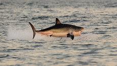 Большая белая акула. Архивное фото