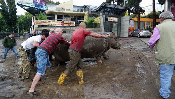 Бегемот, сбежавший из зоопарка во время наводнения в Тбилиси, 14 июня 2015