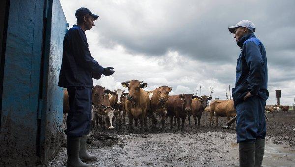 Стадо коров перед областным конкурсом операторов машинного доения коров в поселке Павлоградка Омской области
