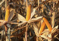 Созревшие початки кукурузы
