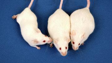 Здоровые мыши и грызуны, страдающие от ожирения
