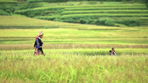 Террасы рисовых полей во Вьетнаме. Архивное фото