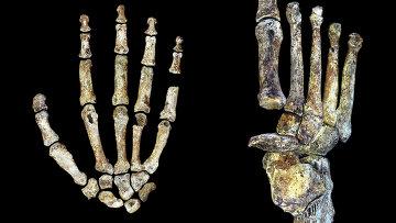Кисть и ступня Homo naledi, раскрывшие его уникальную анатомию
