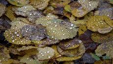 Опавшие листья после дождя. Архивное фото