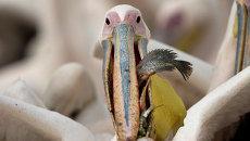 Пеликан. Архивное фото