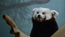 Самка красной панды Зейн в Московском зоопарке