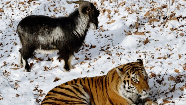 Уссурийский тигр по кличке Амур и козел по кличке Тимур в вольере Приморского сафари-парка