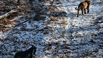 Дружба козла Тимура и тигра Амура. Архивное фото