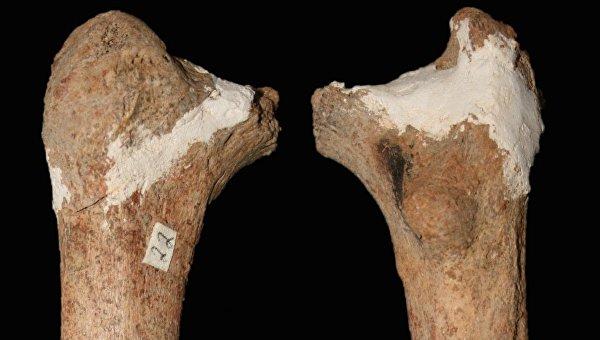 Берцовая кость человека из пещеры Красных Оленей
