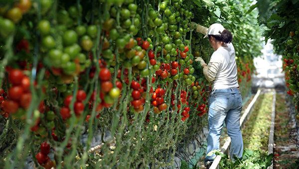 Женщина собирает томаты на ферме в Морделе, Франция. Архивное фото