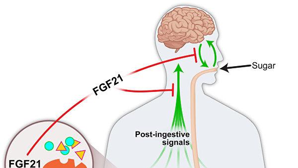 Схема работы гормона FGF21, управляющего тягой к сладкому
