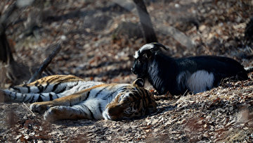 Уссурийский тигр Амур и козел Тимур в вольере Приморского сафари-парка