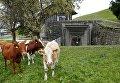 Коровы возле армейского бункера в Швейцарии
