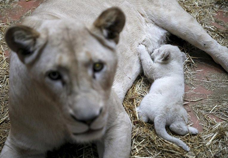 Белая львица с детенышем в частном зоопарке на Украине