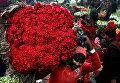 Разнорабочий несет связку красных роз на цветочном рынке в Лахоре, Пакистан