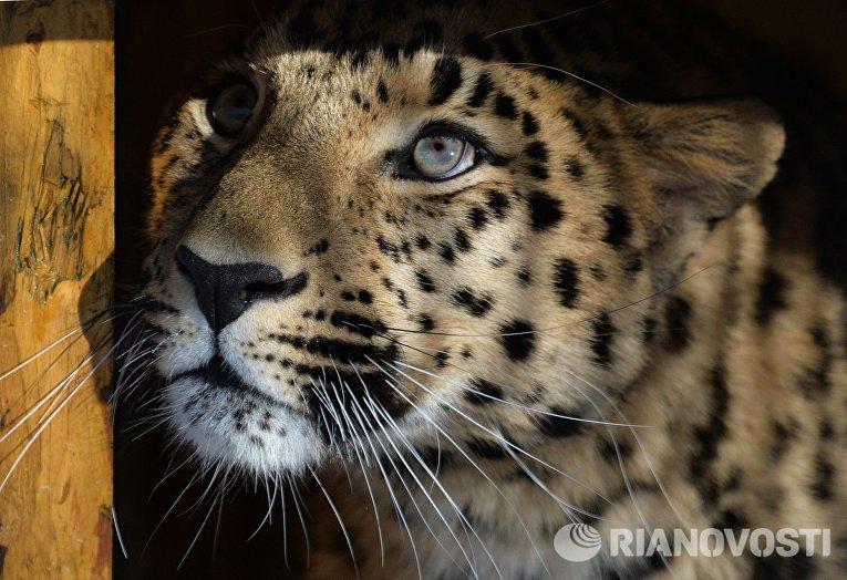 Леопард из Праги поселился по соседству с Амуром и Тимуром