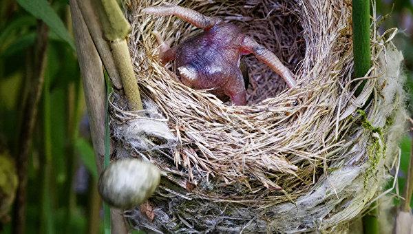 Кукушонок выбрасывает яйцо камышовки из гнезда