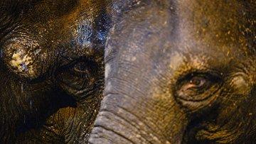 Азиатские слоны в Московском зоопарке. Архивное фото
