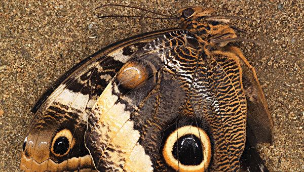Отпечаток бабочки Oregramma illecebrosa (сверху) и фотография современной бабочки-совы (снизу)
