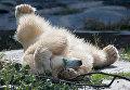 Белый медведь в зоопарке Берлина