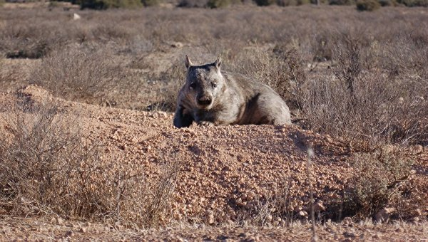 Австралийский длинношерстный вомбат